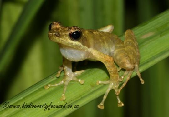 Kloof Frog (Natalobatrachus bonebergi)