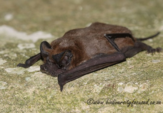 Little Free-tailed Bat (Chaerephon pumila)