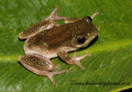 Painted Reed Frog (Hyperolius marmoratus marmoratus)