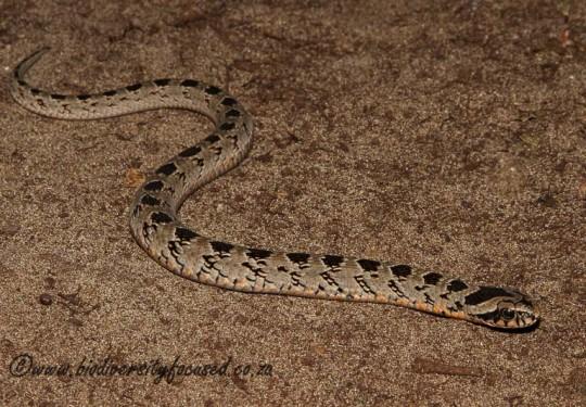 Rhombic Night Adder (Causus rhombeatus)
