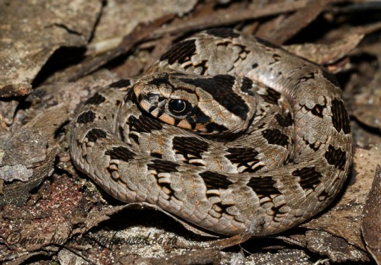 Rhombic Night Adder (Causus rhombeatus)