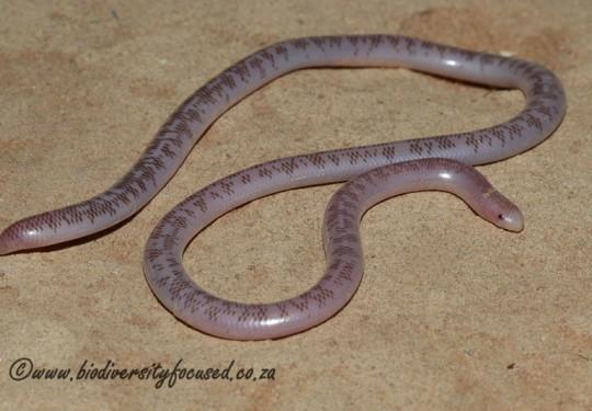 Schinzs Beaked Blind Snake (Rhinotyphlops schinzi)