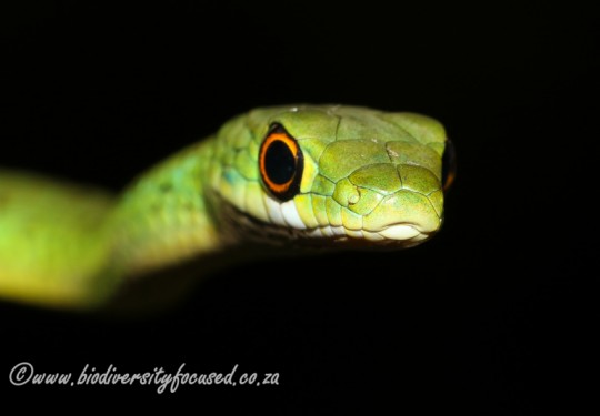 Spotted Bush Snake (Philothamnus semivariegatus)