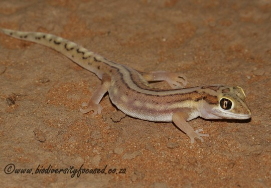Striped Ground Gecko (Colopus wahlbergii furcifer)