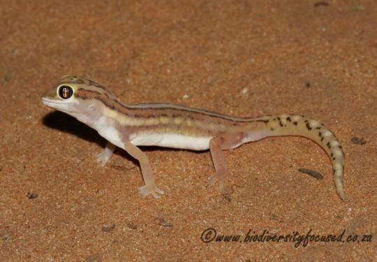 Striped Ground Gecko (Colopus wahlbergii furcifer)