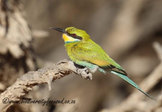 Swallow-tailed Bee-eater (Merop hirundineus)
