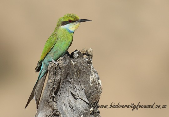 Swallow-tailed Bee-eater (Merop hirundineus)