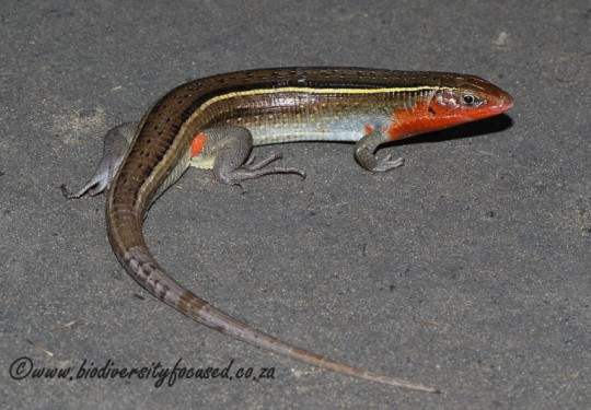 Yellow-throated Plated Lizard (Gerrhosaurus flavigularis)