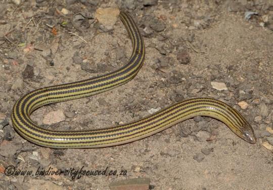 Eastern Cape Legless Skink (Acontias orientalis)