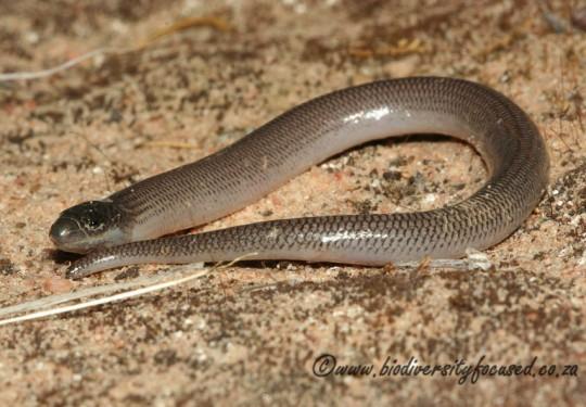 Namaqualand Legless Skink (Acontias namaquensis)