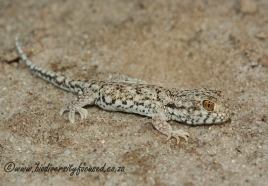 Spotted Barking Gecko (Ptenopus garrulus maculatus)