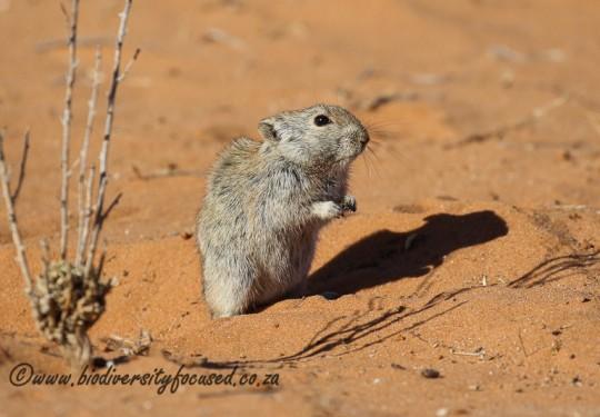 Brantss Whistling Rat (Parotomys brantsii)