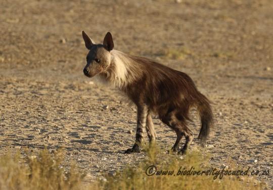 Brown Hyaena (Hyaena bunnea)