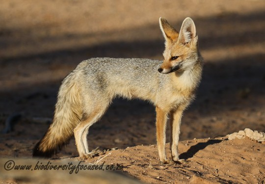 Cape Fox (Vulpes chama)