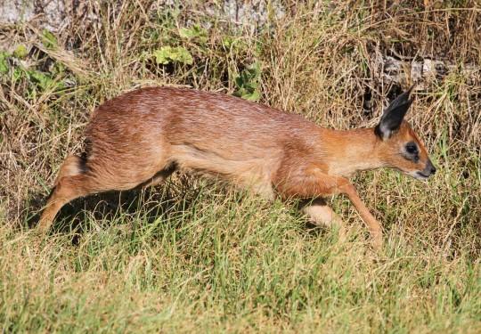 Cape Grysbok (Raphicerus melanotis)