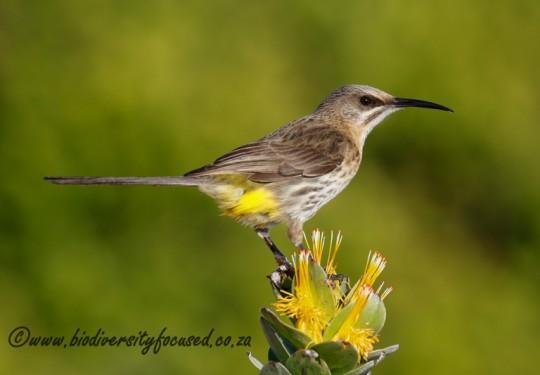 Cape Sugarbird (Promerops cafer)
