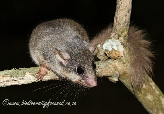 Woodland Dormouse (Graphiurus murinus)