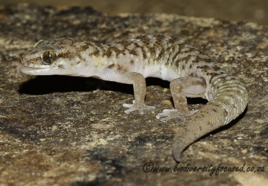 Transvaal Gecko (Pachydactylus affinis)