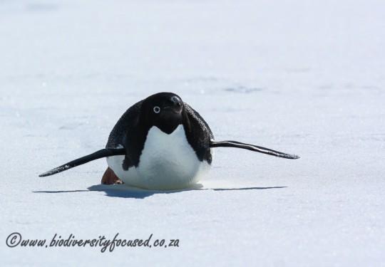 Adelie Penguin (Pygoscelis adeliae)