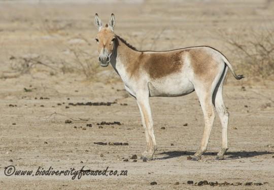 Asiatic Wild Ass (Equus hemionus)