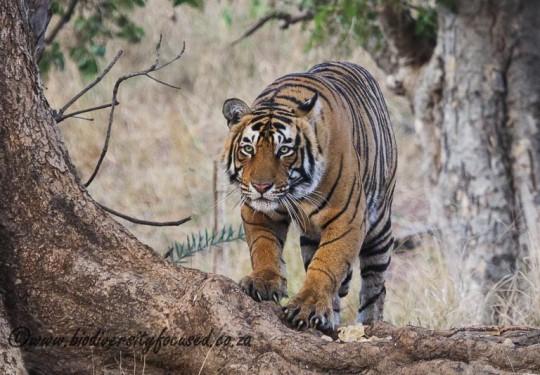 Bengal Tiger (Panthera tigris)