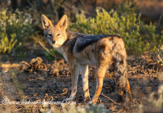 Black-backed Jackal (Canis mesomelas)