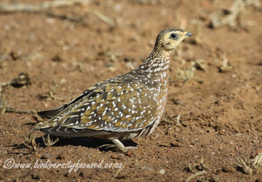Burchells Sandgrouse (Pterocles burchelli) Female