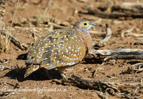 Burchells Sandgrouse (Pterocles burchelli) Male