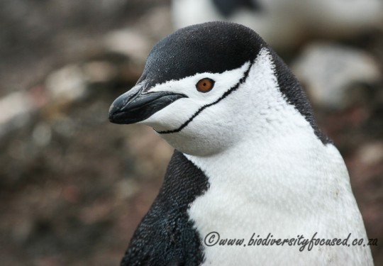 Chinstrap Penguin (Pygoscelis antarctica)
