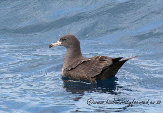Flesh-footed Shearwater (Puffinus carnipes)