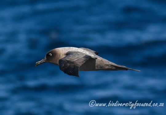 Light-mantled Sooty Albatross (Phoebetria palpebrata)