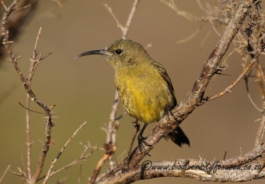 Orange-breasted Sunbird (Anthobaphes violacea) - female
