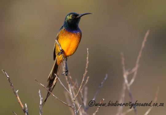 Orange-breasted Sunbird (Anthobaphes violacea) - male
