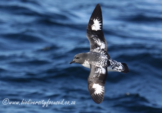 Pintado Petrel (Daption capense)