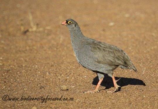 Red-billed Francolin (Pternistes adspersus)