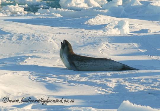 Ross Seal (Ommatophoca rossii)