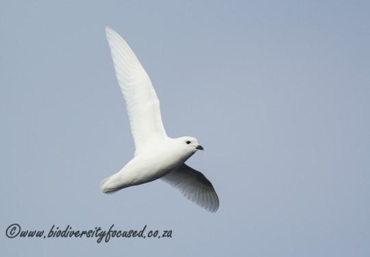 Snow Petrel (Pagodroma nivea)