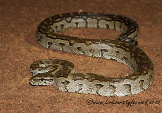 Southern African Python (Python natalensis)