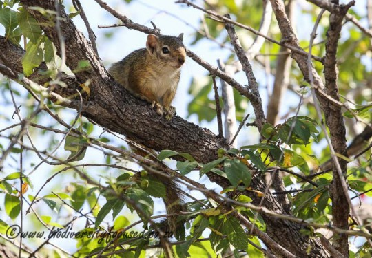 Tree squirrel (Paraxerus cepapi)