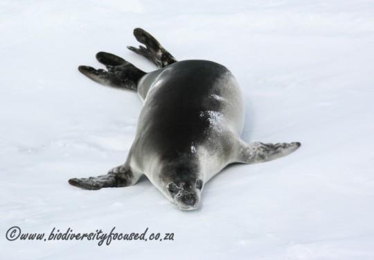 Weddell Seal pup (Leptonychotes weddellii)