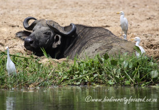 African Savanna Buffalo (Syncerus caffer)