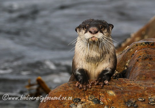 Cape Clawless Otter (Aonyx capensis)