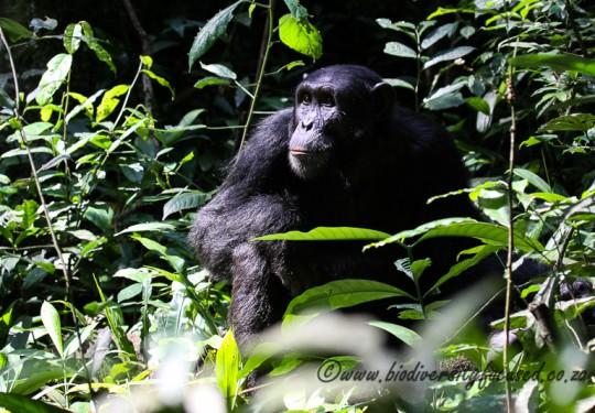 Common Chimpanzee (Pantroglodytes schweinfurthii)