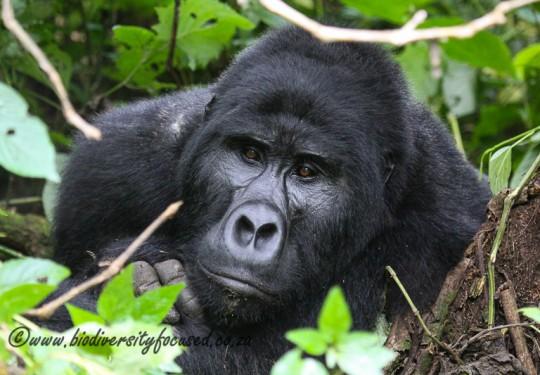 Eastern Gorilla (Gorilla beringei beringei)