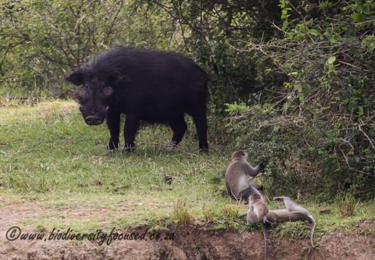 Giant Forest Hog (Hylochoerus meinertzhageni meinertzhageni)
