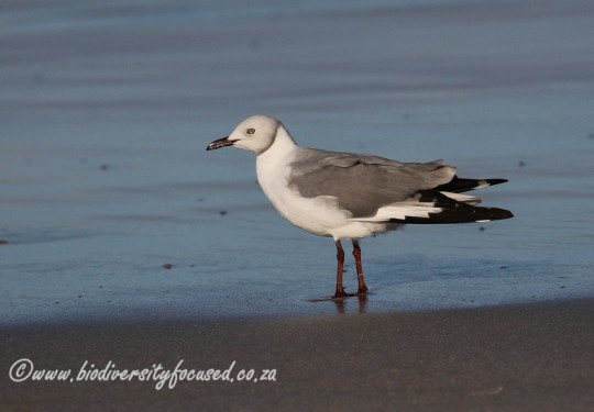 Grey-headed Gull (Larus cirrocephalus)