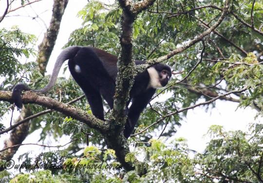 LHoests Monkey (Cercopithecus lhoesti)
