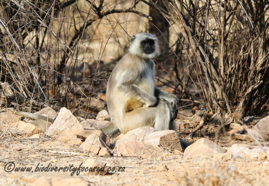 Northern Plains Gray Langur (Semnopithecus entellus)