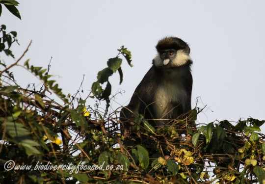 Red-tailed Guenon (Cercopithecus ascanius schmidti)