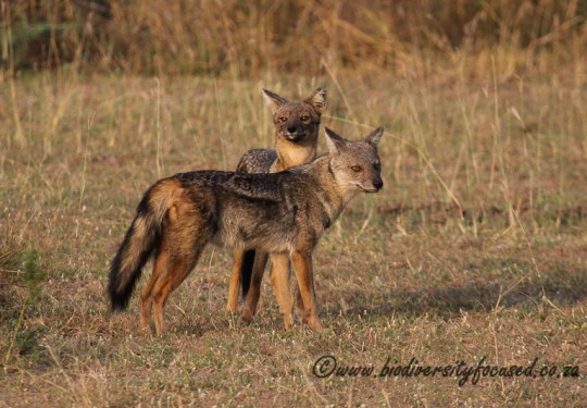 Side-striped Jackal (Canis adustus)